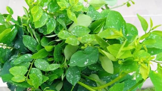 Selain Obat Herbal Sayur Katuk Memiliki Manfaat Lain Bagi Kesehatan