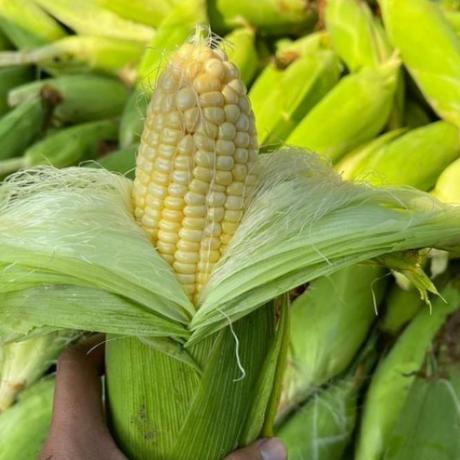 manfaat jagung bagi kesehatan tubuh